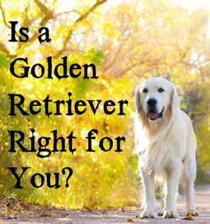 Is a Golden Retriever right for you?